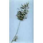 Eragrostis barrelieri Daveau (Éragrostide de Barrelier)
