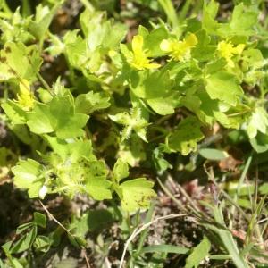 Photographie n°96795 du taxon Ranunculus muricatus L. [1753]