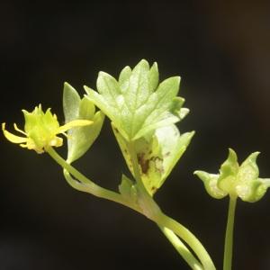 Photographie n°96798 du taxon Ranunculus muricatus L. [1753]