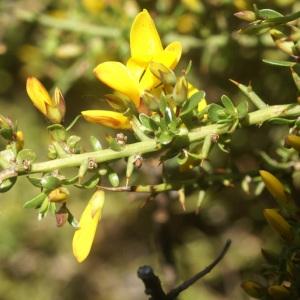 Genista corsica (Loisel.) DC. (Genêt de Corse)