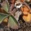 Liliane Roubaudi - Potentilla micrantha Ramond ex DC. [1805]