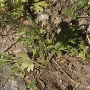 Photographie n°96819 du taxon Ranunculus  paludosus Poiret