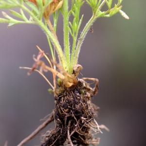 Photographie n°96822 du taxon Ranunculus  paludosus Poiret