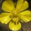 Liliane Roubaudi - Ranunculus  paludosus Poiret