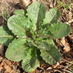 Photographie n°96869 du taxon Lactuca virosa L. [1753]