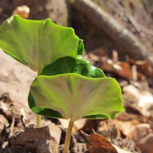Photographie n°96896 du taxon Fagus sylvatica L.
