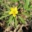 Hugues TINGUY - Anemone ranunculoides L.