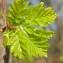 Hugues TINGUY - Quercus petraea Liebl.