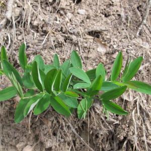 Photographie n°96965 du taxon Lathyrus linifolius (Reichard) Bässler