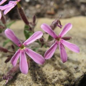 Photographie n°96986 du taxon Saponaria ocymoides L.