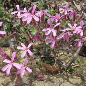 Photographie n°96988 du taxon Saponaria ocymoides L.