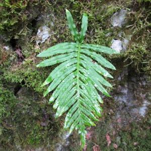 Photographie n°97023 du taxon Polypodium cambricum L.
