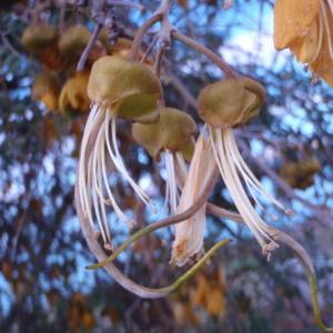 Sophora sp.