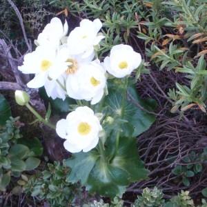 Photographie n°97104 du taxon Ranunculus L. [1753]