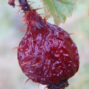 Photographie n°97114 du taxon Rosa rubiginosa L.