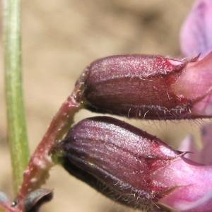 Vicia sepium L. (Vesce des haies)