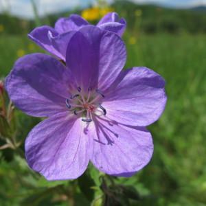 Geranium sylvaticum L. (Géranium des bois)