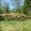 Hugues TINGUY - Carex paniculata L.