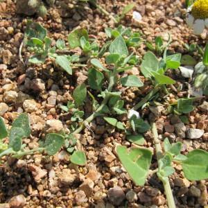 Photographie n°97254 du taxon Chenopodium vulvaria L.