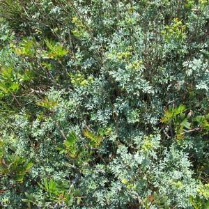 Photographie n°97294 du taxon Ruta chalepensis L. [1767]