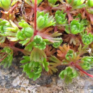 Photographie n°97328 du taxon Saxifraga pedemontana subsp. cervicornis (Viv.) Arcang. [1882]