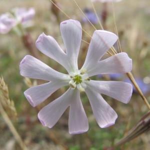 Silene sericea All. (Silène soyeux)