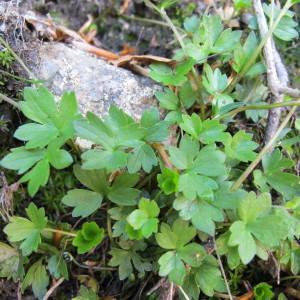 Ranunculus marschlinsii Steud. (Renoncule de Salis-Marschlins)