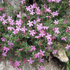 Saponaria ocymoides subsp. alsinoides (Viv.) Arcang. (Saponaire fausse sabline)