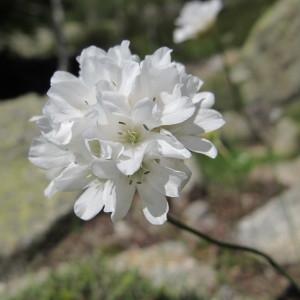 Armeria leucocephala Salzm. ex W.D.J.Koch (Arméria à têtes blanches)