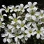 Hugues Tinguy - Saxifraga pedemontana subsp. cervicornis (Viv.) Arcang. [1882]