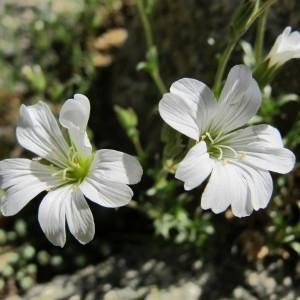 Cerastium soleirolii Ser. ex Duby (Céraiste de Soleirol)