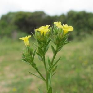 Photographie n°97567 du taxon Linum strictum L.