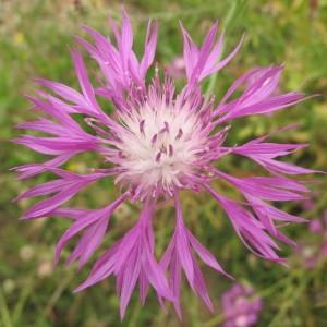 Centaurea napifolia L. (Centaurée à feuilles de navet)