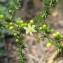 Hugues Tinguy - Asparagus acutifolius L. [1753]
