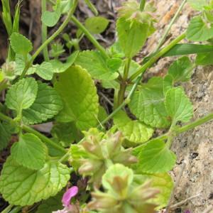 - Stachys marrubiifolia Viv.