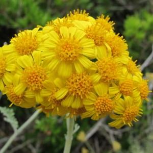 Senecio cineraria DC. subsp. cineraria (Cinéraire maritime)