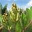 Hugues Tinguy - Astragalus glycyphyllos L. [1753]