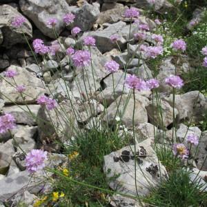 Photographie n°97734 du taxon Armeria alpina Willd. [1809]