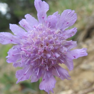 Lomelosia graminifolia (L.) Greuter & Burdet (Scabieuse à feuilles de graminée)