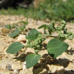 - Chenopodium vulvaria L.