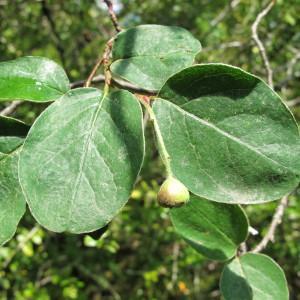 Cotoneaster tomentosus Lindl. (Cotonéaster des monts Nébrodes)