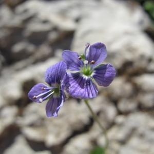 Photographie n°97936 du taxon Veronica aphylla L.