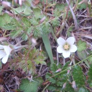 Photographie n°97978 du taxon Geranium sessiflorum