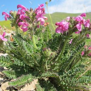 Photographie n°98010 du taxon Pedicularis gyroflexa Vill. [1785]