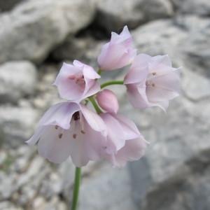 Photographie n°98042 du taxon Allium narcissiflorum Vill.