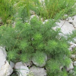 - Artemisia chamaemelifolia Vill. [1779]