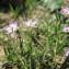 Hugues TINGUY - Spergularia rubra (L.) J.Presl & C.Presl