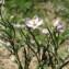 Hugues Tinguy - Spergularia rubra (L.) J.Presl & C.Presl [1819]