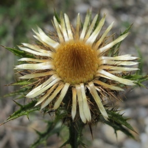 Carlina vulgaris proles maritima Rouy [1903] (Carline commune)