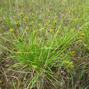 - Carex viridula Michx.